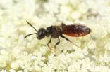 Dikkopbloedbij (Sphecodes monilicornis)