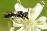 Kleine tuinmaskerbij (Hylaeus pictipes)