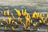 Geel hoorntje (Calocera cornea)