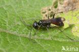 Priocnemis fennica