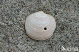 Noordse cirkelschelp (Lucinoma borealis)