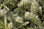 Gewoon duizendblad (Achillea millefolium)
