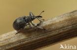 Berkenspitsmuisje (Trichapion simile)