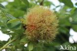 Galwesp (Diplolepis rosae)