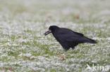 Roek (Corvus frugilegus)