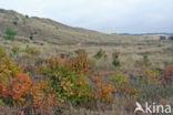 Amerikaanse vogelkers (Prunus serotina)