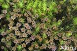 Groot heksenkruid (Circaea lutetiana)