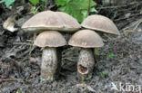 Harde populierboleet (Leccinum duriusculum)