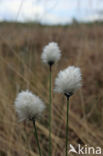 Eenarig wollegras (Eriophorum vaginatum)