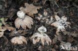 Baretaardster (Geastrum striatum)