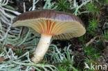 Dennenslijmkop (v. hypothejus)