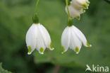 Lenteklokje (Leucojum vernum)