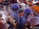 Violette gordijnzwam (Cortinarius violaceus)