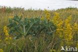 Geel walstro (Galium verum)