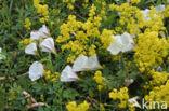 Akkerwinde (Convolvulus arvensis)