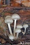 Porseleinzwam (Oudemansiella mucida)