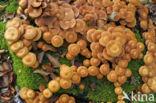 Stobbezwammetje (Pholiota mutabilis)