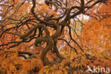 Japanse esdoorn (Acer japonicum)