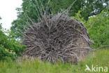 Zomereik (Quercus robur)