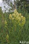 Poelruiter (Tringa stagnatilis)