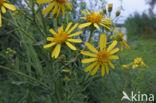 Rivierkruiskruid (Senecio fluviatilis)