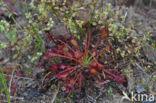 Kleine zonnedauw (Drosera intermedia)
