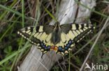 Koninginnepage (Papilio machaon)