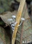 Biezenmycena (Mycena bulbosa)
