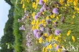 Gele ganzenbloem (Chrysanthemum segetum)