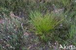 Gewone veenbies (Trichophorum cespitosum ssp. germanicum)