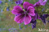 Tuinkaasjeskruid (Malva sylvestris forma rosea)