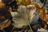 Esdoorn spec. (Acer spec.)