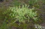 Moerashertshooi (Hypericum elodes)