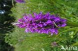 Rietorchis (Dactylorhiza praetermissa)