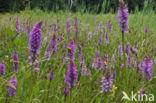 Gevlekte orchis (Dactylorhiza maculata)