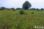 Egelboterbloem (Ranunculus flammula)