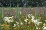 Blauwe zegge (Carex panicea)