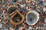 Gekarteld leemkelkje (Tarzetta catinus)