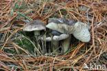 Glanzende ridderzwam (Tricholoma portentosum)