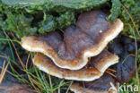 Teervlekkenzwam (Ischnoderma benzoinum)