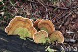 Waaierkorstzwam (Stereum subtomentosum)