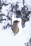 Taigagaai (Perisoreus infaustus)
