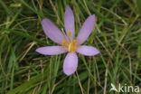 Wilde herfsttijloos (Colchicum autumnale)