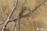 Klapekster (Lanius excubitor)