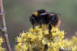 Weidehommel (Bombus pratorum)
