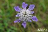 Duifkruid (Scabiosa columbaria)