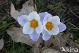 Krokus (Crocus spec.)