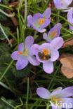 Boerenkrokus (Crocus tommasinianus)