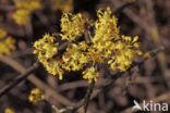 Gele kornoelje (Cornus mas)