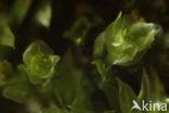 Viertandmos (Tetraphis pellucida)